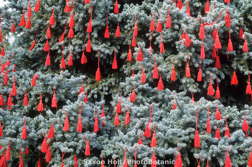 Red tassles decorating living Christmas tree in garden, blue spruce