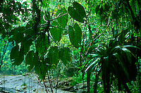 Epiphytic aroid (left) and bromeliad (right) in Atlantic Forest, Serra do Mar, Rio de Janeiro State, Brazil.