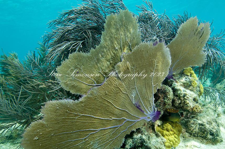 Fan Coral<br /> Leinster Bay, St John<br /> Virgin Islands National Park