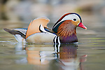 A mandarin duck swims through smooth, still water
