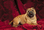Chinese Shar-Pei in the studio<br />