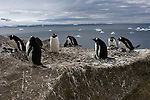 Gentoo Penguins with chicks at Brown Bluff, Antarctic Peninsula.