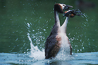Great-crested Grebe (Podiceps cristatus), pair courting, Switzerland