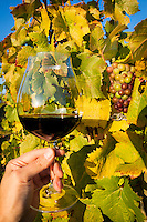 Pinot Noir Wine glass held up by hand to fall colored grapevine with cluster of grapes.