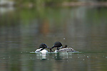 A pair of common loons is seen here caring for their chick in a small lake in Banff National Park, Alberta, Canada.