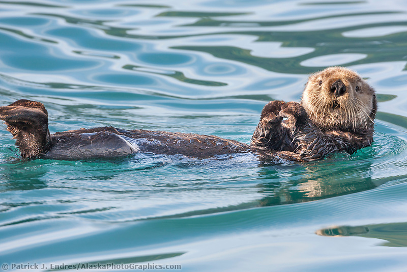 Sea otters, Port Wells, Prince William Sound, southcentral, Alaska.