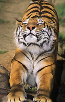 684089155 an adult siberian tiger panthera tigris altaicia pauses for a good stretch at a wildlife rescue facility - species is native to the high steppes of central asia and is highly endangered in its native habitat
