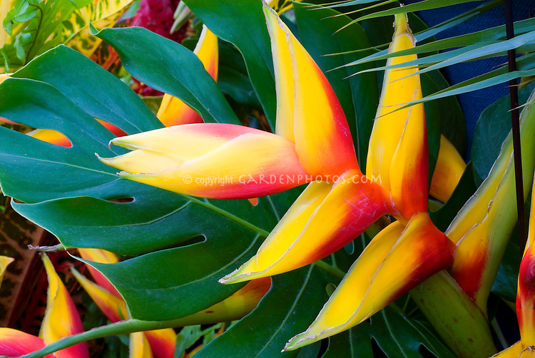 Heliconia (natural hybrid in Grenada) exotic tropical flowers