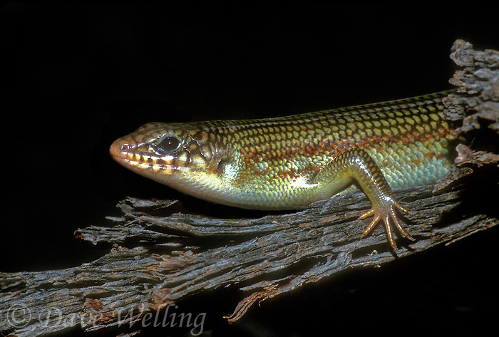 477380014 a wild great plains skink eumeces obsoletus rests on a mesquite log in the rio grande valley of south texas