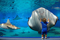 The ?walk through tunnel? at the Maui Ocean Center.  Besides the Brown stingray [Dasyatis latus] a sandbar shark [Carcharhinus plumbeus] and spotted eagle ray [Aetobatus narinari]  are pictured.  Hawaii. marine, boy, wonder, humor, aquarium
