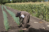 A Hutterite woman picks green onions in a New Rosedale Hutterites colony fieldin Manitoba, Monday August 17, 2015. Hutterites are am ethno-religious group who, like the Amish and Mennonites, trace their roots to the Radical Reformation of the 16th century.