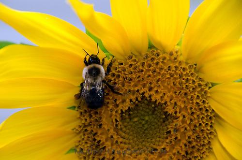 Bee on sunflower close up