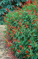 Salvia elegans Pineapple Sage