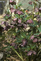 Helleborus orientalis x H. torquatus GR21240 with dark purple slate colored flowers
