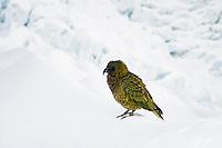 Native parrot, KEA, in its natural environment on Franz Josef Glacier, Westland National Park, South Westland, West Coast, South Island, New Zealand