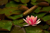 Pink water lily, Larkwhistle gardens, Bruce Peninsula, Ontario, Canada.