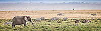 Elephants, zebras, ostriches and gazelles grazing together in a wonderful diversity of wildlife in the Masai Mara Reserve, Kenya, Africa (photo by Wildlife Photographer Matt Considne)
