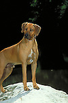 Rodesian Ridgeback Shopping cart has 3 Tabs:<br /> <br /> 1) Rights-Managed downloads for Commercial Use<br /> <br /> 2) Print sizes from wallet to 20x30<br /> <br /> 3) Merchandise items like T-shirts and refrigerator magnets