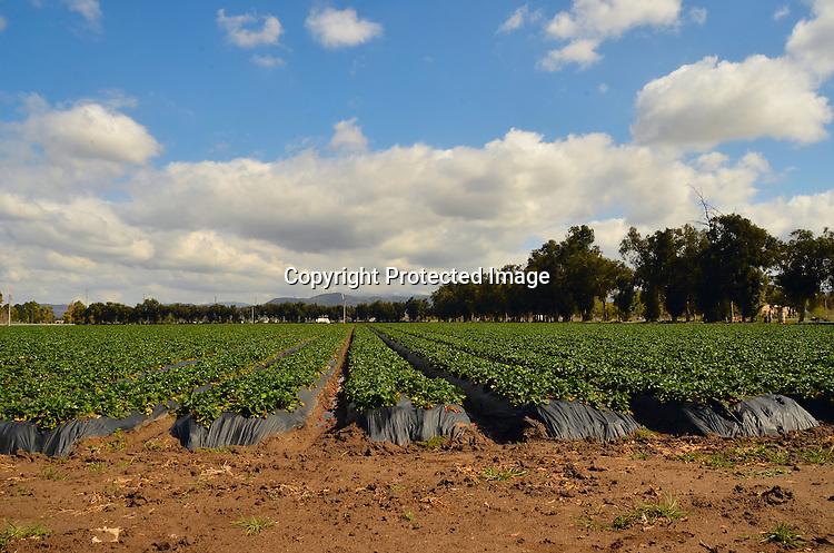 Stock photo of strawberry field