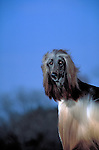 Afghan Hound Shopping cart has 3 Tabs:<br /> <br /> 1) Rights-Managed downloads for Commercial Use<br /> <br /> 2) Print sizes from wallet to 20x30<br /> <br /> 3) Merchandise items like T-shirts and refrigerator magnets
