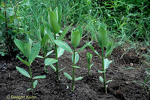 MK23-006e  Milkweed - young plants - Asclepias syriaca (see MK23-002c,004h,006e,001b,MK24,005b)