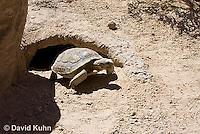 0609-1007  Desert Tortoise Emerging from Burrow to Forage for Food (Mojave Desert), Gopherus agassizii  © David Kuhn/Dwight Kuhn Photography
