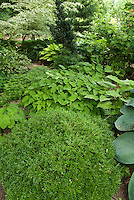 Shady garden perennials hostas, epimedium, Galium odoratum sweet woodruff, ferns, boxwood Buxus