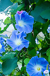 This beautiful Morning Glory vine sits in a spot of the UW's Medicinal Herb Garden that gets 6+ hours of sun each day, a must for good blooms on this traditional cottage garden annual vine.  Unlike the invasive weed Bindweed, sometimes called Wild Morning Glory, true Morning Glory is an annual that reproduces only from seed, not the underground runners of Bindweed.