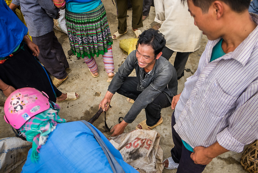 BAC HA, VIETNAM - CIRCA SEPTEMBER 2014:  Merchant pulling a pig at the Bac Ha sunday market, the biggest minority people market in Northern Vietnam