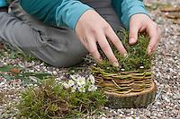 Mädchen, Kind baut ein Osternest aus Baumscheibe, Weidenästchen, Moos, Gänseblümchen und bunten Ostereiern; 4. Schritt: Das Körbchen wird mit Moos ausgepolstert