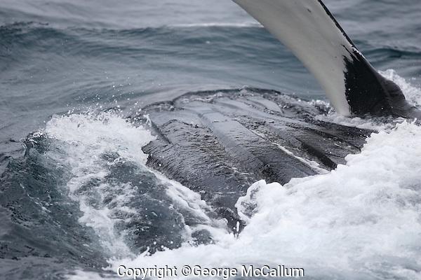 Humpback whale Megaptera novaeangliae Lunge feeding showing  throat pleats and pectoral flipper Kvitøya, Arctic ocean