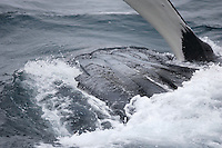 Humpback whale Megaptera novaeangliae Lunge feeding showing  throat pleats and pectoral flipper Kvitøya, Arctic ocean