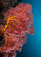 Large fan coral on a wall dive in Palau, with baraccuda and other fish in the background, Palau Micronesia. (Photo by Matt Considine - Images of Asia Collection)