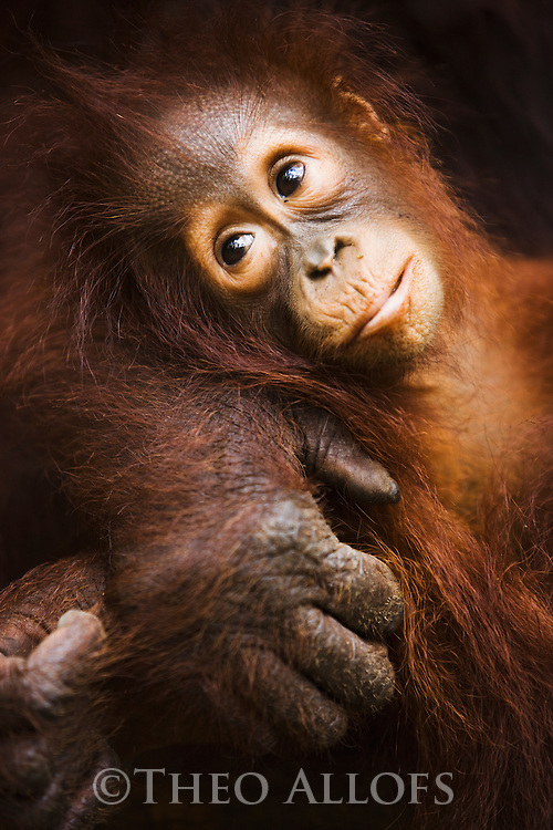 Baby orangutan in mother's arm, portrait, (Pongo pygmaeus), endangered species due to loss of habitat, spread of oil palm plantations, Tanjung Puting National Park, Borneo, East Kalimantan,