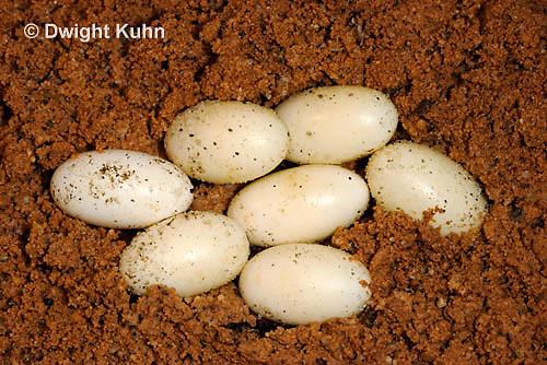 CH42-501z  Veiled Chameleon eggs in sand, Chamaeleo calyptratus
