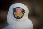 Genovesa Island with a large population of nesting sea birds in the Galapagos National Park, Galapagos, Ecuador. A Nazca Booby