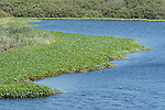 Point Reyes National Seashore, California; water plants growing on both sides of Abbotts Lagoon