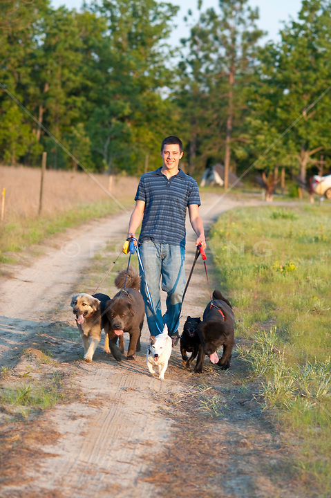 Young man walking five dogs on leashes down a dirt driveway