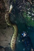 RB7315-D. Green Anaconda (Eunectes murinus), huge 7m (22 feet) long female snake underwater, climbing riverbank while scuba diver (model released) observes. Brazil, South America.<br /> Photo Copyright &copy; Brandon Cole. All rights reserved worldwide.  www.brandoncole.com