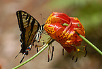 swallowtail butterfly on lilly