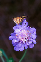 Scabiosa columnaria 'Butterfly Blue' Pincushion flower with Metalmark butterfly