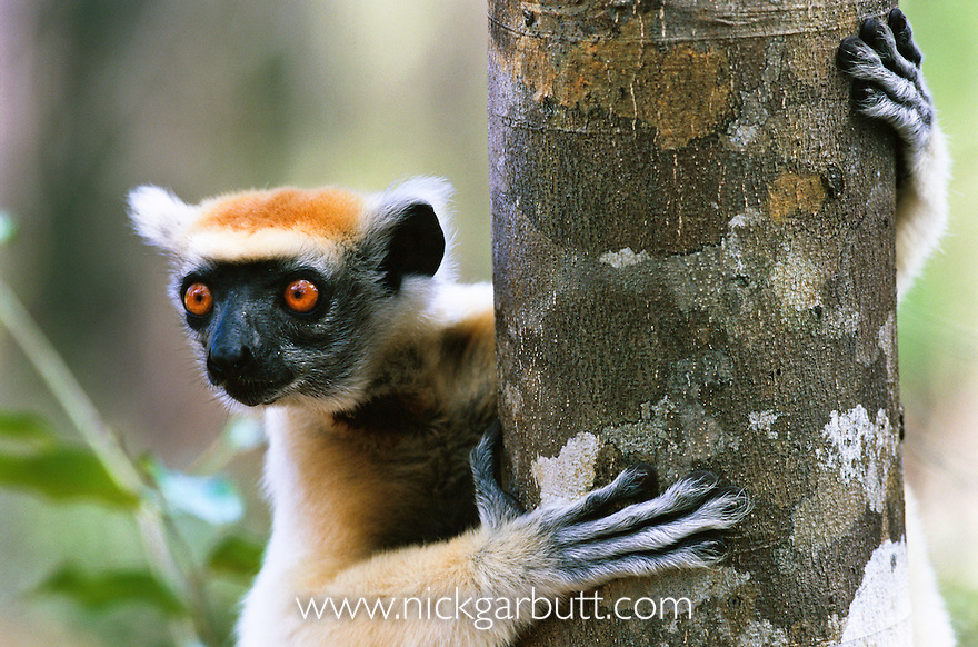 the golden crowned sifaka or tattersall s sifaka Golden-crowned sifaka ©wwwflickrcom order primates family indriidae scientific name tattersall's sifaka other names propithecus tattersalli thumbnail description it is one of the smallest sifakas (genus propithecus.