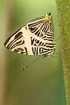 La Guacima de Alajuela, Costa Rica; a Dirce Beauty Butterfly (Colobura dirce) sits upside down, wings folded, on a branch , Copyright © Matthew Meier, matthewmeierphoto.com All Rights Reserved