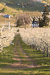 Pear orchard and historic home on Pioneer Avenue west of Cashmere, Washington in the Wenatchee Valley