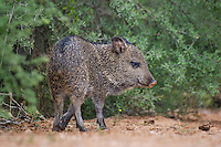 650520310 a wild javelina or collared peccary baby dicolytes tajacu forages near a waterhole on santa clara ranch in starr county rio grande valley texas united states