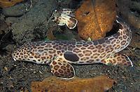 mn410. Epaulette Shark (Hemiscyllium freycineti). Papua New Guinea, tropical Indo-Pacific oceans..Photo Copyright © Brandon Cole. All rights reserved worldwide.  www.brandoncole.com