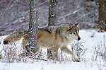 Gray wolf trots through snow, Montana, USA