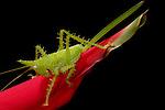 Katydids & Grasshoppers