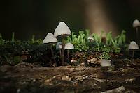 Bundelmycena / Mycena arcangeliana / Angels bonnet / Olivgelber Helmling / Mycne d Arcangeli