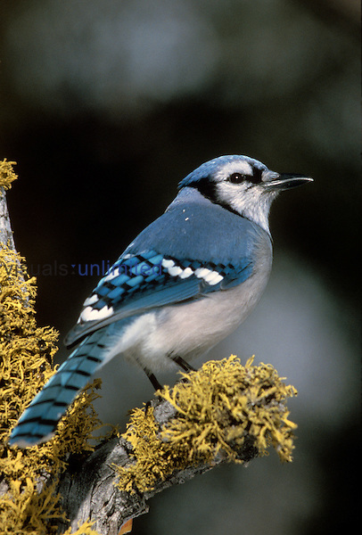 Blue Jay (Cyanocitta cristata), North America....